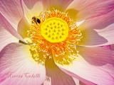 BEE ON LOTUS 7889.jpg