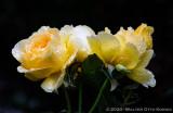 The Magical Rose Garden