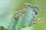 Craesus septentrionalis - Elzenbladwesp 1.JPG
