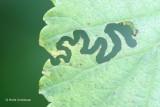 Aproceros leucopoda - Iepenzigzagbladwesp 3.JPG