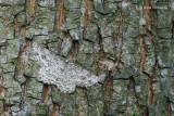 Ectropis crepuscularia - Gewone Spikkelspanner 4.JPG