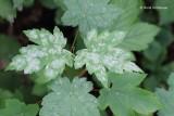 Erysiphaceae