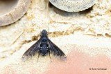 Bombyliidae - Wolzwevers