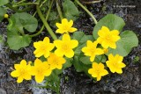 Caltha palustris - Dotterbloem.JPG