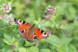 Nymphalidae - Aurelia's