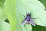 Calliphoridae - Vleesvliegen