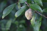 Taphrinaceae