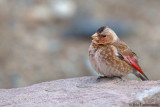African Crimson-winged Finch