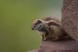 Atlas Squirrel