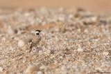 Black-crowned Sparrowlark