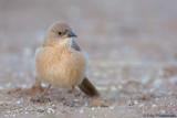 Fulvous Babbler