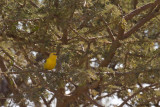 Golden Sudan Sparrow
