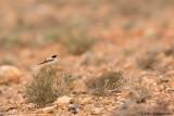 Desert Wheatear