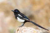 Maghreb Magpie