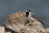 Moroccan Wagtail