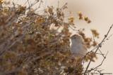 African Desert Warbler