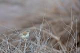 Cricket Warbler