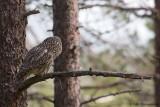 Ural Owl