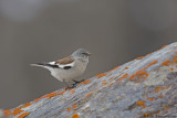 White-winged Snowfinch