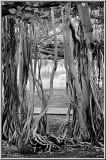Banyan Vines