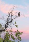 A watchful buzzard