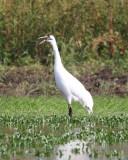 Whooping Crane  10-6-19