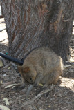 Back in town got hot meat pies from Rottnest Bakery while quokkas napped nearby.