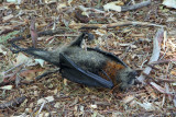 Signs in Gardens warned of dead flying foxes. Found several on the ground.