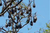 Flying foxes (what we call bats?) close up by Howard