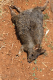 Were taken to Table Cape area. Saw roadkill (wallaby).  Were told Aussies leave it there (chain of life).