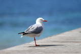 Back in Burnie, bought a pair of pants at the Red Cross thrift, then photographed gulls in a park near the water.
