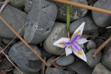 Iris in the rocks