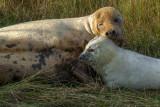 Donna Nook Grey Seals - Halichoerus grypus