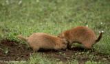 Wrestling Prairie Dogs