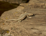 Northern Sagebrush Lizard