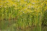 Marsh Wildflowers
