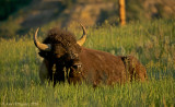 Bison Sleeping in the Early Morning Sun
