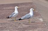 Ring-billed Gull Pair