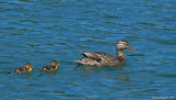 Mallard with Young