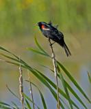 RedwingedBlackbirdAgassizNWR610_0929.jpg