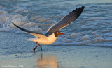 Laughing Gull at Sunset