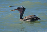 Brown Pelican with a Fish