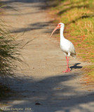 White Ibis Out for a Stroll