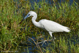 Little Blue Heron with Tadpole