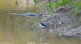 Nesting Stilts with Alligator