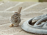 Song Sparrow with Diseased Foot