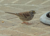 White-thriated Sparrow