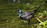Common Grackle (Female)