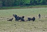 Turkey & Black Vultures
