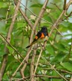 American Redstart (Male)